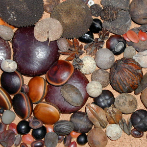Tropical tree seeds